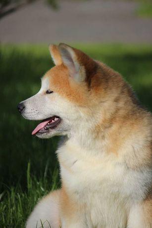 Питомник щенки Акита ину