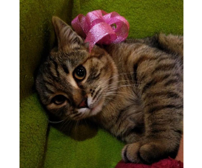 Рыська (кошка, 6 мес, стерилизацию оплатим) Мелитополь - изображение 1