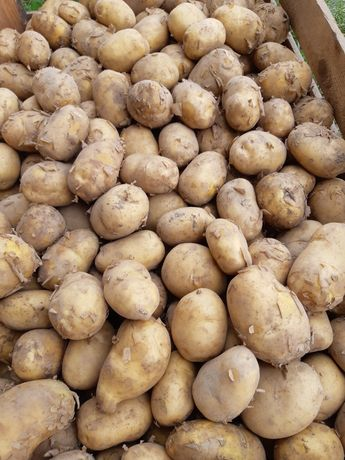 Ziemniaki, pyry, kartofle