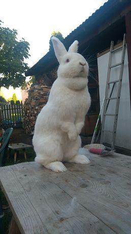 króliki Nowozelandzkie Białe