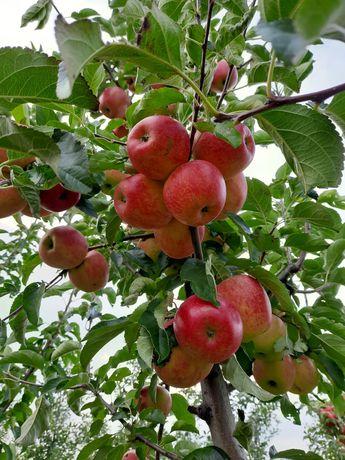 Продам товарні яблука