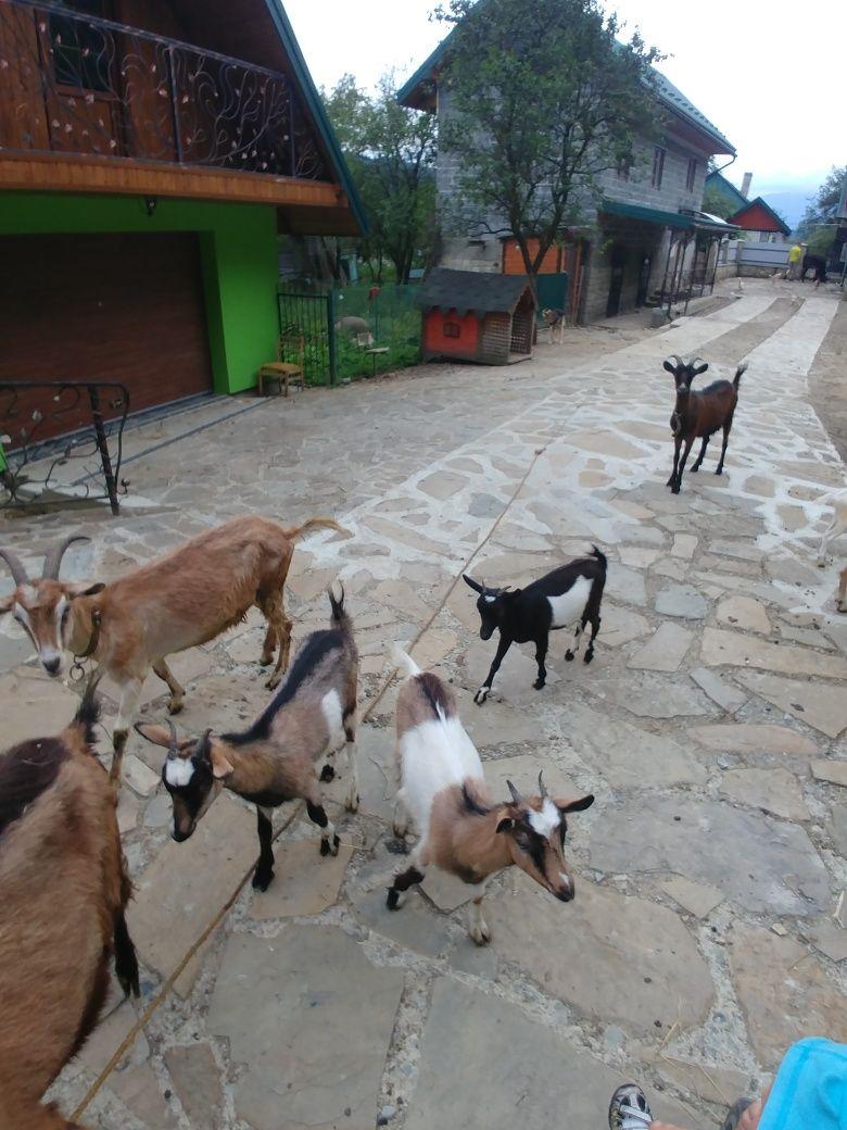 Козочка, Кози, коза, козенята, кози, Козеня