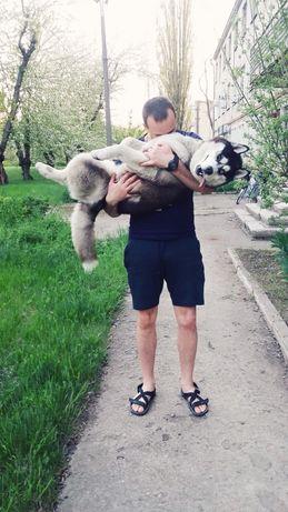 Собака хаски , ищет девочку для вязки