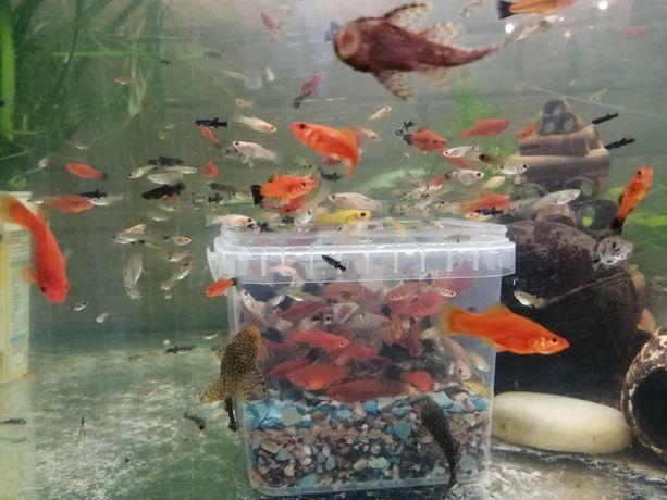 Młode rybki akwariowe