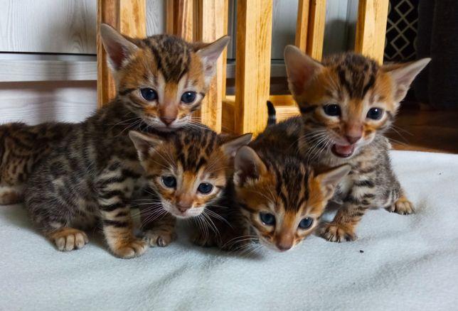 Kotki bengalskie, kocięta.