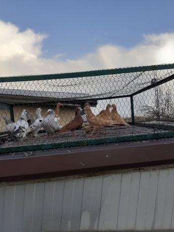 Gołębie ozdobne golebie Wiedeńskie
