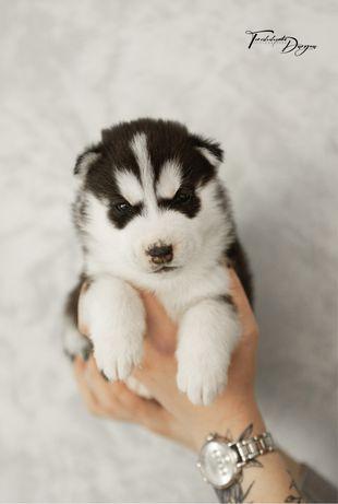 Продается плюшевый, черно-белый щеночек Сибирский Хаски!