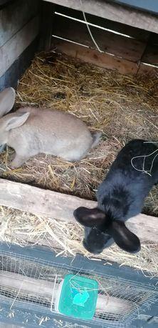 Sprzedam 2 młode króliki samice i samce