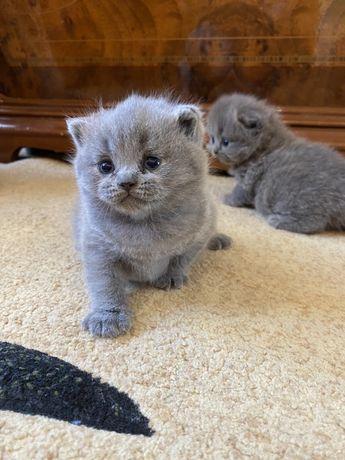 Продаються шотландські кошенята