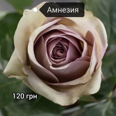 Роза Амнезия троянда Амнезія