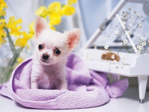 Chihuahua porte pequeno super mini