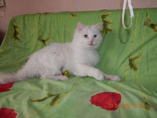 Кот породы турецкая ангора