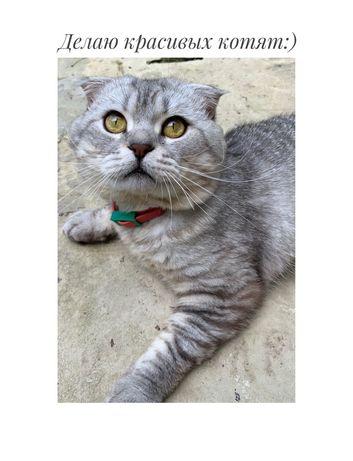 Вязка полтава кот мальчик вислоухий шотландский,табби тигровый скоттиш