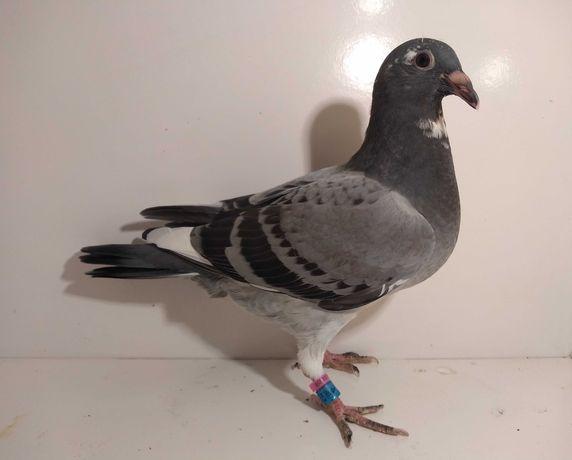 Gołębie pocztowe K. Meulemans, młody nr 14133.