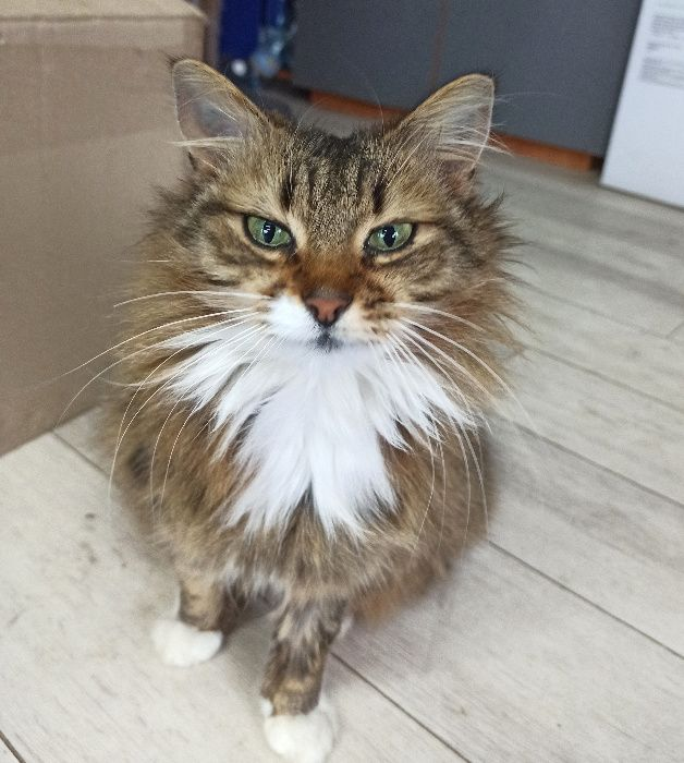 Удивительная ласковая кошка красавица стерилизована Киев - изображение 1