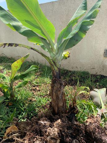 Bananeiras da Madeira
