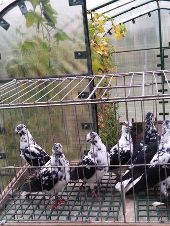 Gołębie ozdobne Berlinka samica czarna