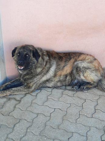 Oferecemos Cão de Guarda grande porte