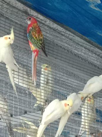 Продам попугаев розелла