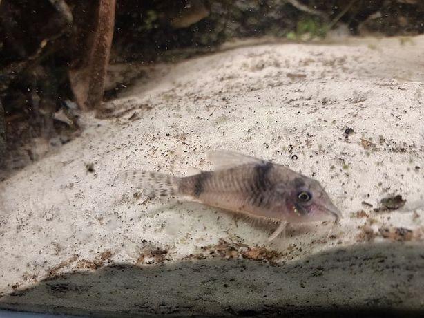 Corydoras Reynoldsi