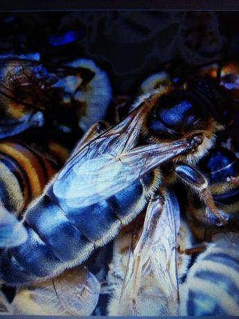 Бджоломатки Карніка