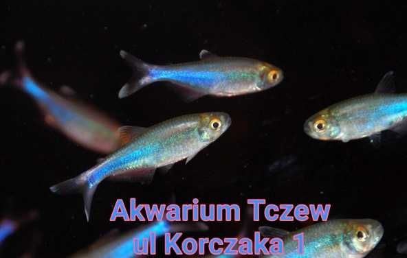 10 sztuk Maranka niebieska Boehlkea Fredcochui ul Korczaka 1 Tczew