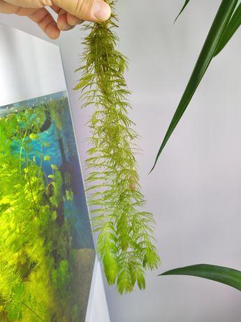 Rotala roślinki do akwarium