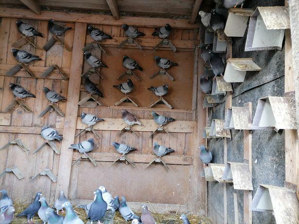 Gołębie pocztowe samce