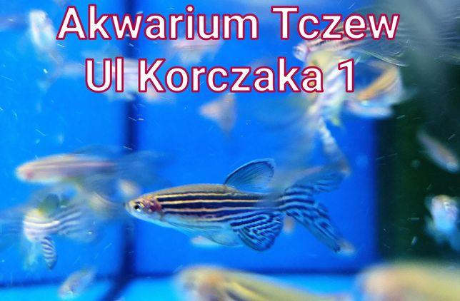 Danio pręgowane weloniaste ul Korczaka 1 Tczew