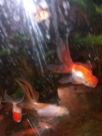 Золотая рыбка - неприхотливое содержание.