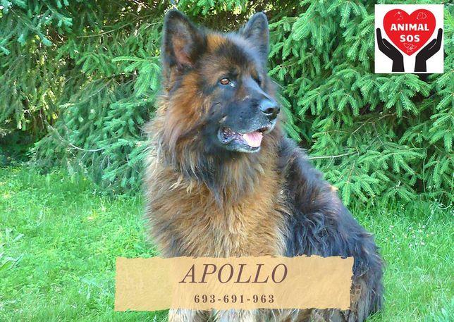 Apollo-Przepiękny pies w typie owczarka niemieckiego