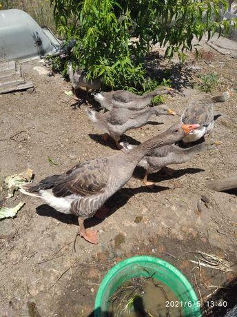 Patos gansos com 2 meses e meio .quase adultos