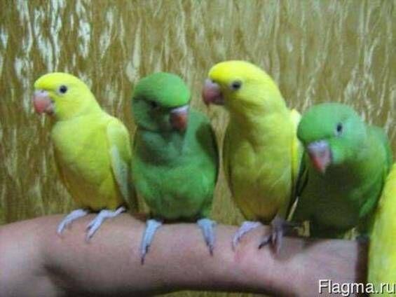 Ожереловий папуга, синій, жовтий, зелений