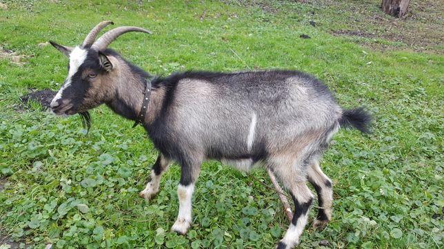 Продам козу з другим козеням