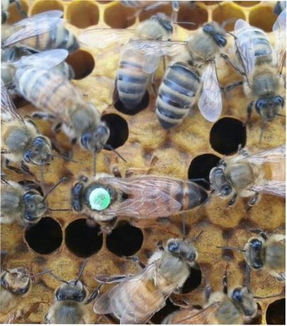 Карпатка Карпатка пчелиная матка 2021