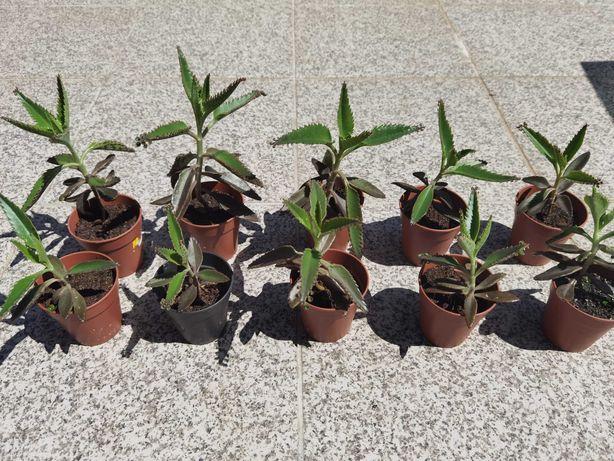 Suculenta Mãe de Milhares (Bryophyllum daigremontianum)