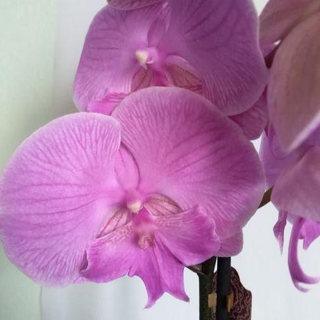 """Орхидея Фаленопсис """"Биг лип"""""""