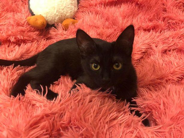 Активная резвая черная с белым кошечка Мелани, 5 мес, котенок