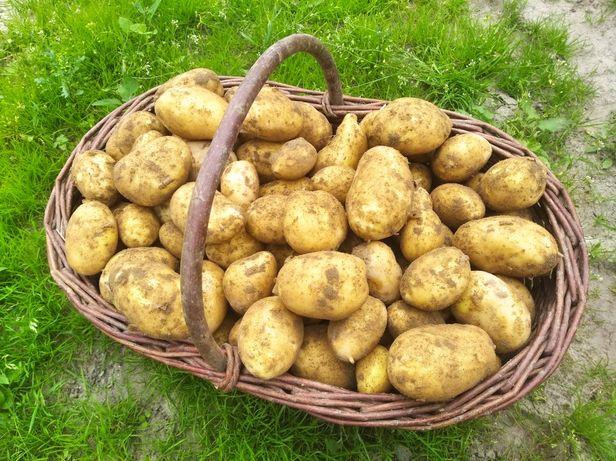 Sprzedam ziemniaki 8zł/15kg