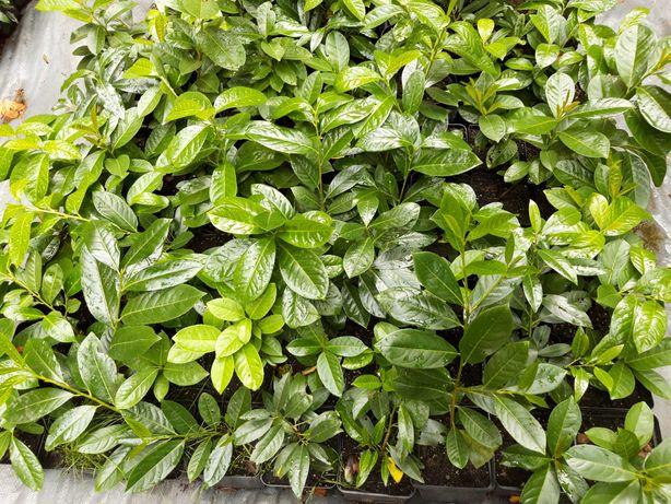 Laurowiśnia wschodnia Novita Rotundifolia w doniczkach P 16