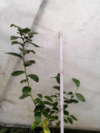 Саджанці лохини,(голубики)1.5, 2 роки. саджанці малини мяо мяо