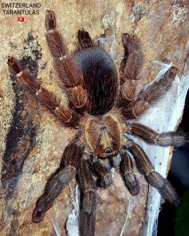 Psalmopoeus reduncus паук птицеед отличный первый древесник самка
