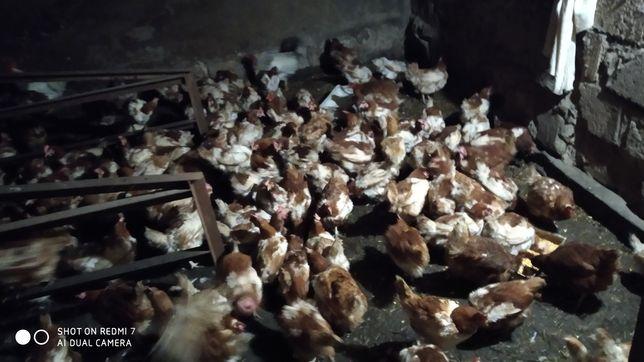 Продаю кури несушки