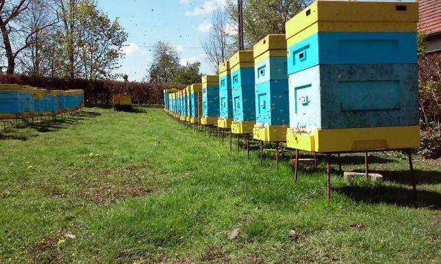 Pszczoły Odkłady rodziny pszczele DADANT matki Buckfast GZ i KB