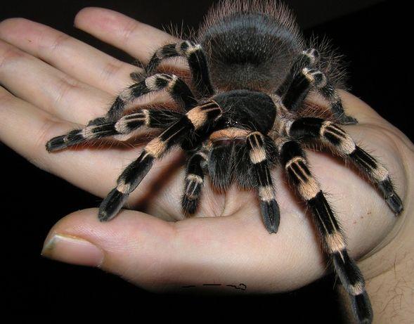 Трендовое увлечение тарантул в доме паук экзотическое животное