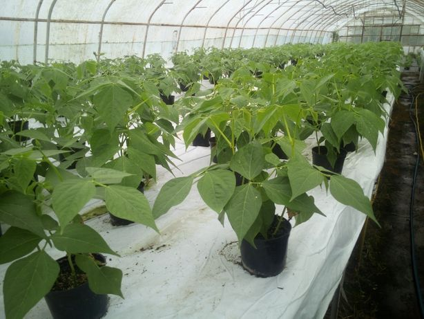 Rozsada rozsady sadzonki fasoli