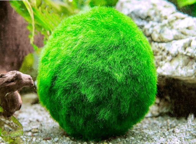 Galezatka Kulista zielona kula mech do akwarium na korzen kamien !