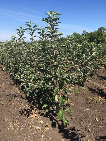 Продам саженцы яблони для интенсивного садоводства