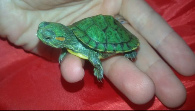 Чудо малышка черепаха 4-5см. Доставка