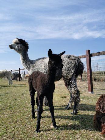 Alpaki. Matka z córką.